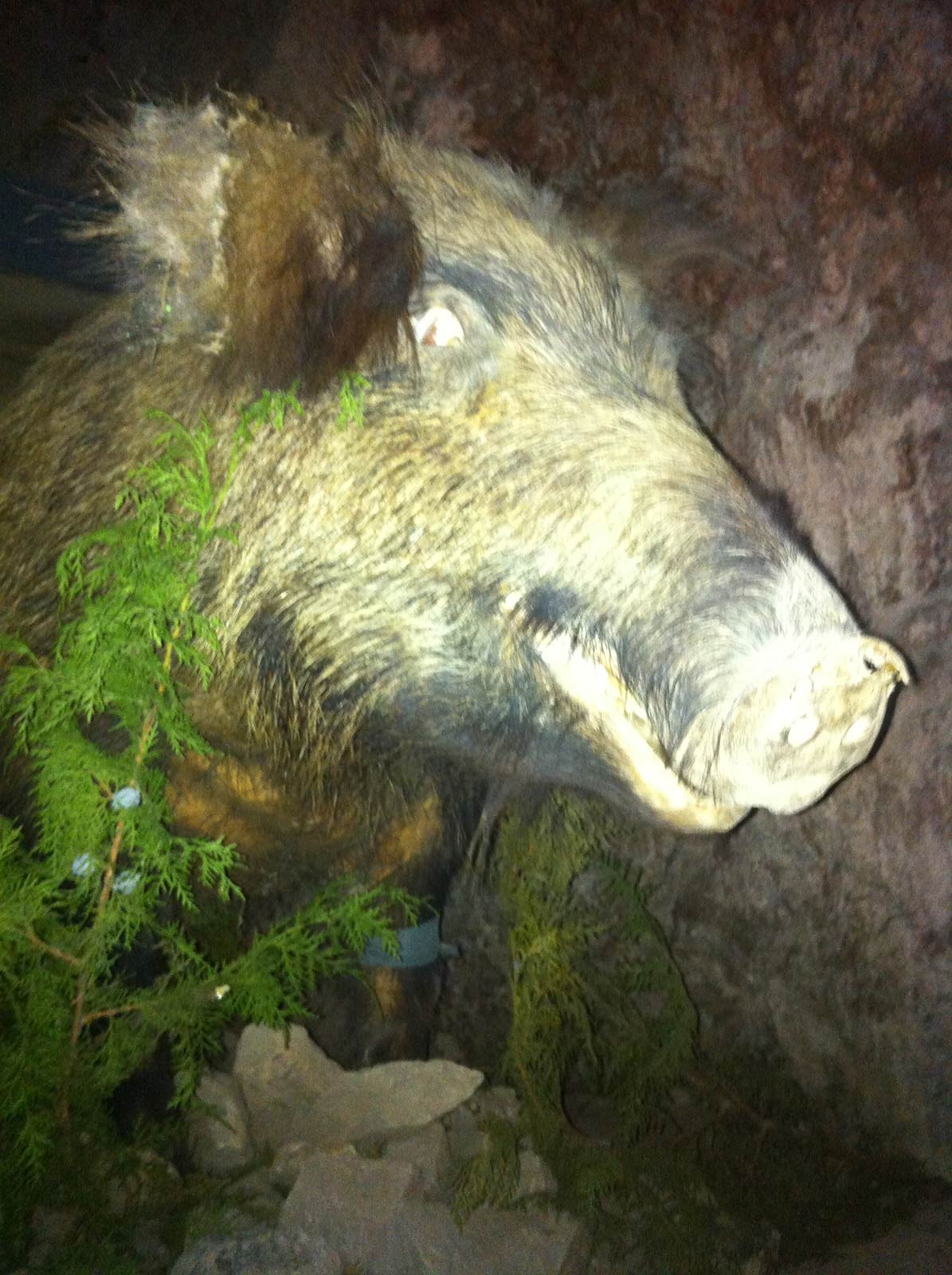boar taxidermy